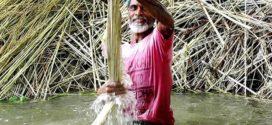 কাঁচাপাট ক্রয়ে চতুর্মুখী প্রতিযোগিতা চায় বিজেএমএ