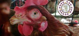 পোলট্রির নীরব শত্রু H9N2 : বছরে ক্ষতি করছে প্রায় ২৫০ মিলিয়ন ডলার
