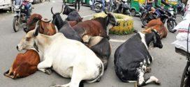 ভারতে গরু আন্দোলন : বিপাকে মানুষ!
