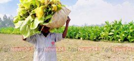'বিষবৃক্ষ' গ্রাস করছে ভূঞাপুরের চরাঞ্চল