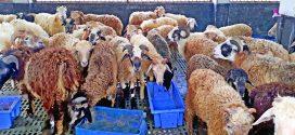 ফকিরহাটের ভেড়ার খামারে দু' বছরে উৎপাদন বেড়েছে তিনগুণ