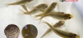 একুয়া নেচার নির্ভর মাছ চাষে পুকুরে পোনা মজুদ