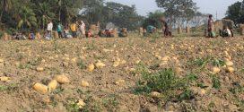 চলতি মৌসুমে চাঁদপুরে দু'লাখ মে.টন আলু উৎপাদন