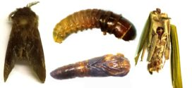 সুপারি-নারিকেল গাছে নতুন পোকা সনাক্ত করেছেন পবিপ্রবি গবেষকরা