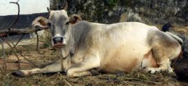 ভারতীয় পশুতে ক্ষুরা রোগ: মহিষে কমছে রপ্তানি আয়