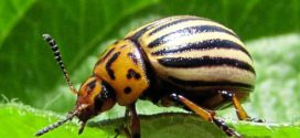 প্রাকৃতিক উপায়ে সবজির মাকড় নিয়ন্ত্রণ
