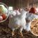 পুঁজি সংকটে পোলট্রি খাত: অগ্রিম কর প্রত্যাহার বিষয়ে প্রজ্ঞাপনে নতুন জটিলতা