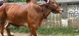 কত বাজেটে কেমন গরু এবং কোথায় থেকে কিনবেন