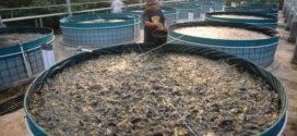 বায়োফ্লক পদ্ধতিতে চিংড়ি ও অন্যান্য মাছ চাষ