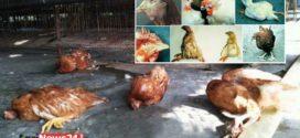 রানীক্ষেত ও গাম্বোরো রোগে দিশেহারা জয়পুরহাটের পোলট্রি খামারিরা