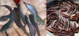 শিং ও মাগুর মাছ চাষে পানি, রোগ ও ঝুঁকি ব্যবস্থাপনা
