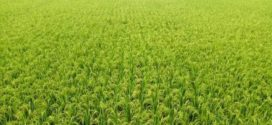 রাজশাহী জেলায় বোরো ধানের বাম্পার ফলনের সম্ভাবনা