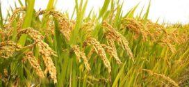 বোরোতে বাম্পার ফলন, হবে না খাদ্যাভাব -খাদ্যমন্ত্রী