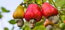 কাঁচা কাজুবাদাম আমদানি শুল্কমুক্ত করা হবে -কৃষিমন্ত্রী
